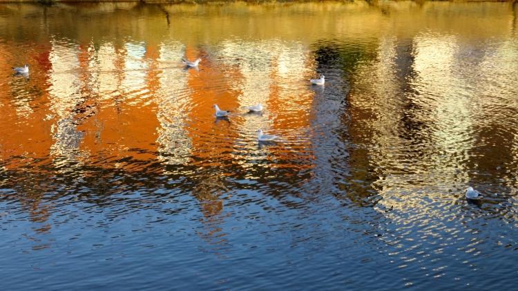 Gulls on Mill Pond