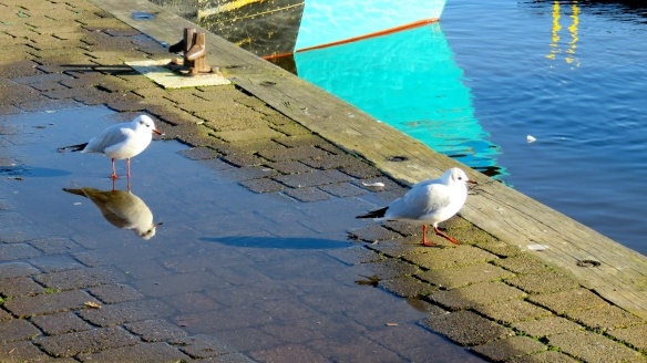 Gulls reflected