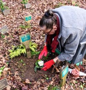 Jackie planting primulas