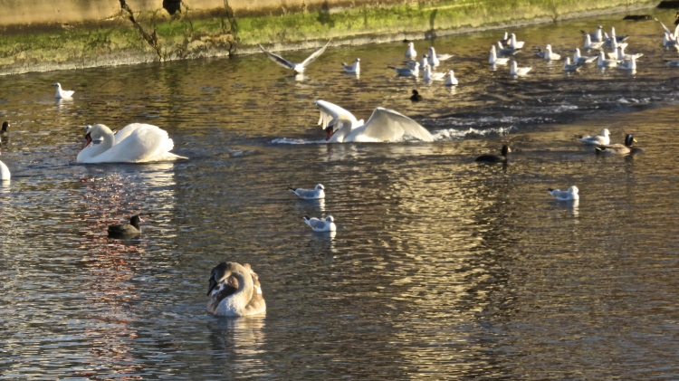 Waterfowl with young swan