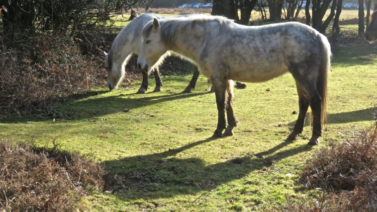 Dappled grey ponies