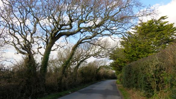 Downton Lane oaks
