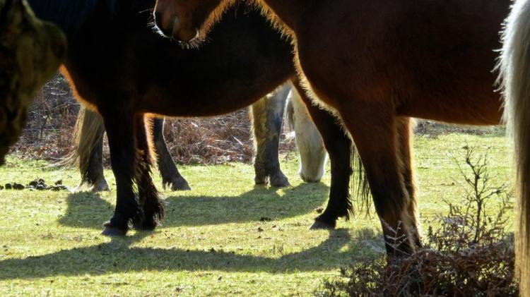 Ponies' legs