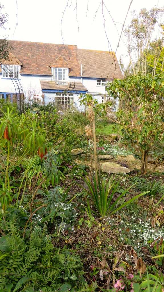 Snowdrops and hellebores in garden
