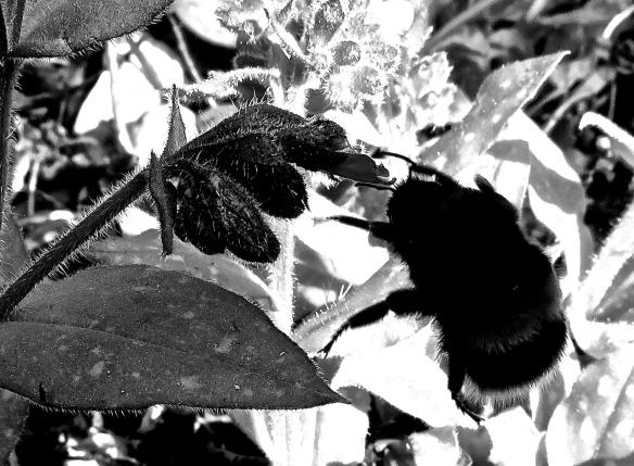Bee on pulmanaria B:W