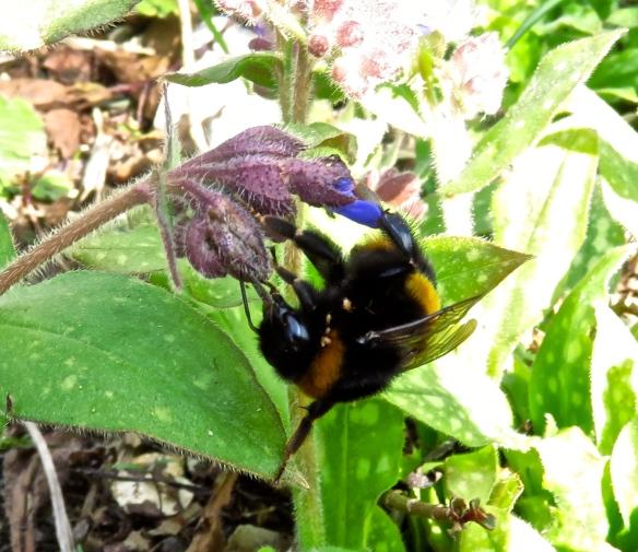 Bee on pulmonaria 2
