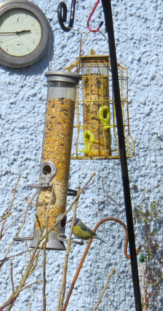 blue tit on swinging feeder