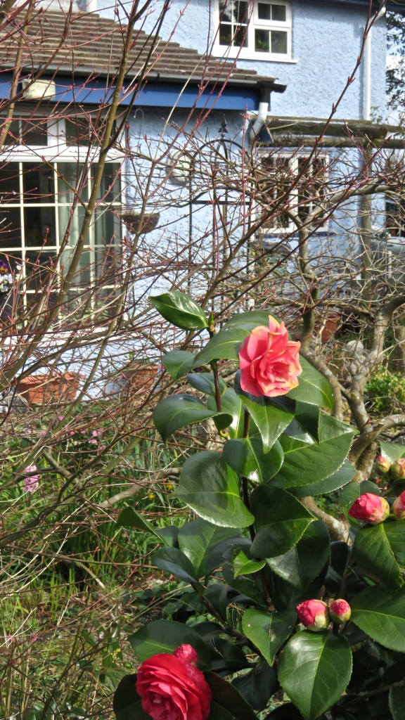 Camellias and clock