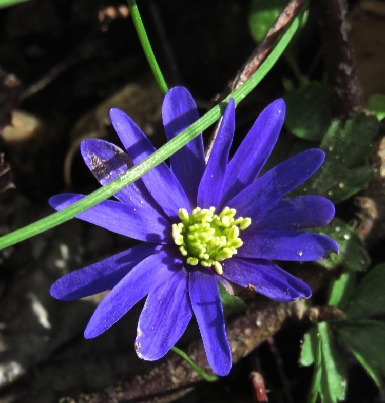Celandine blue
