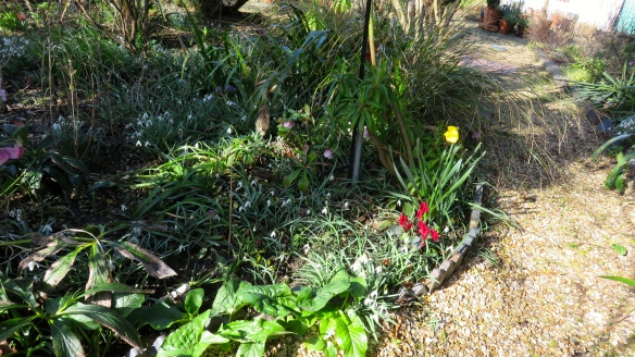 Daffodil, snowdrops, cyclamen, hellebores, pulmonaria