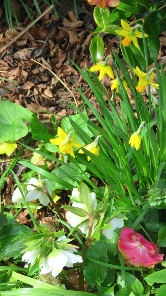 Daffodils, hellebore and fallen camellia
