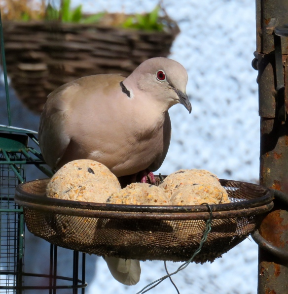 Dove and suet balls