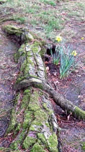 Mossy root and daffodils