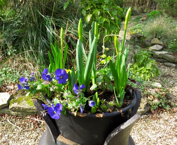 Pansies and daffodils in chimney pot