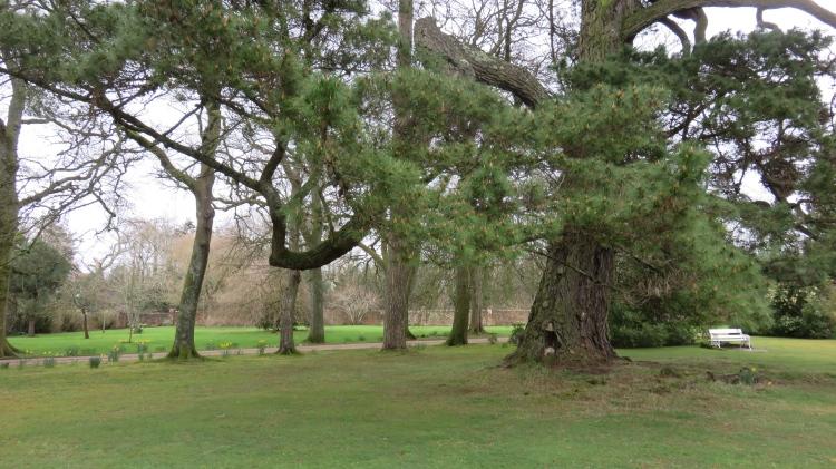 Pine in Durmast House garden