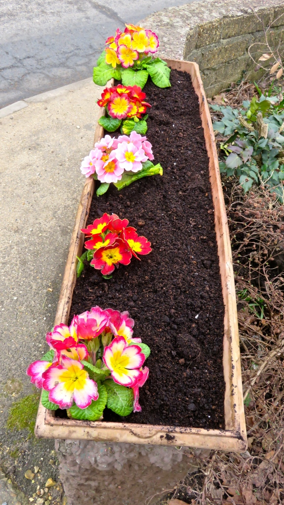 Window box primulas