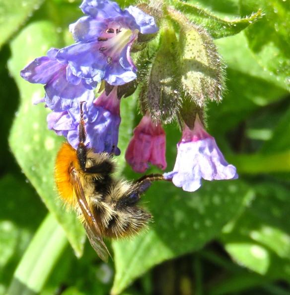 Bee on pulmonaria
