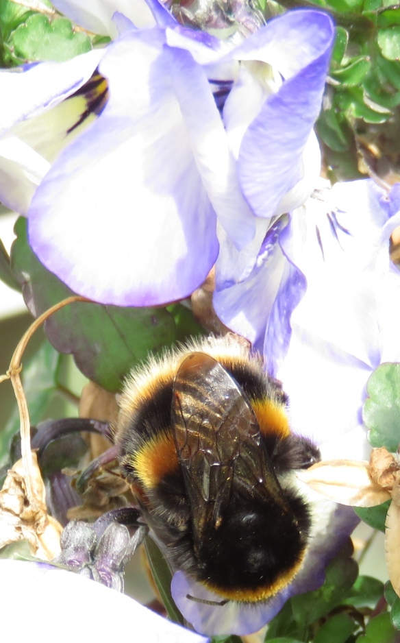 Bumble bee on pansy