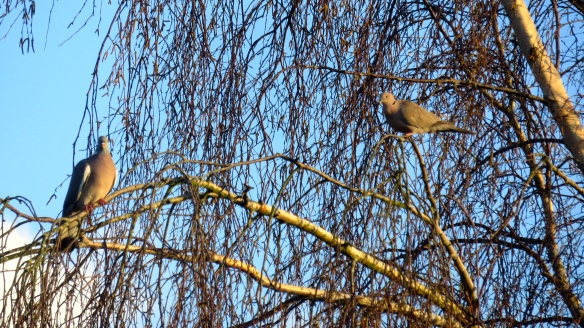 Collared dove and pigeon