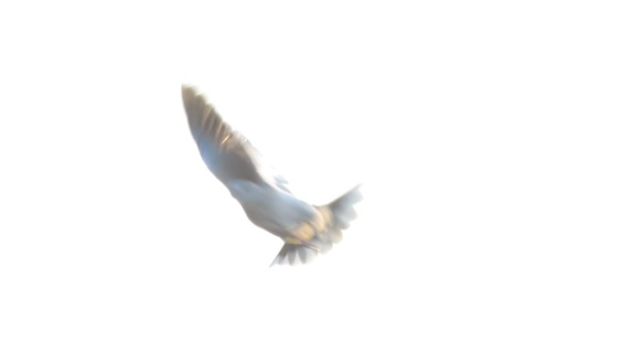 Collared dove on the wing