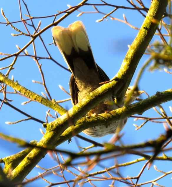 Collared dove trapeze