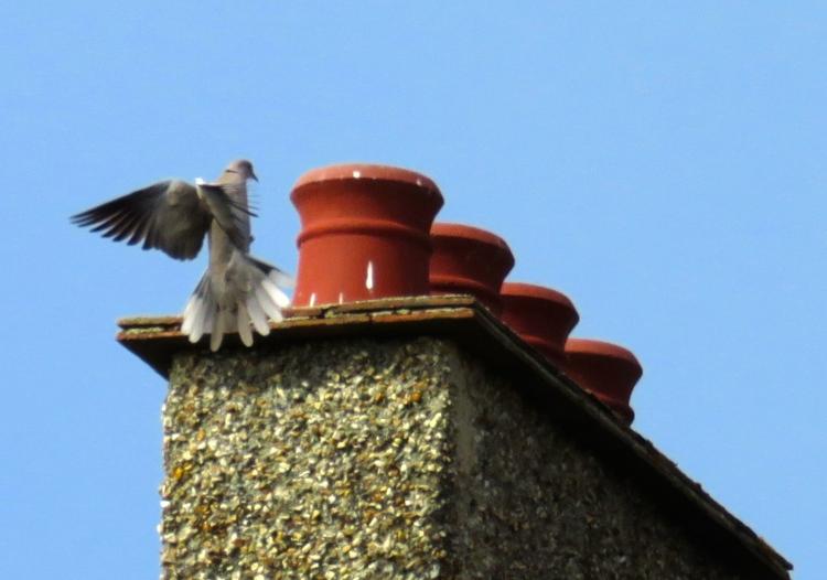 Corraed dove landing on chimney pots