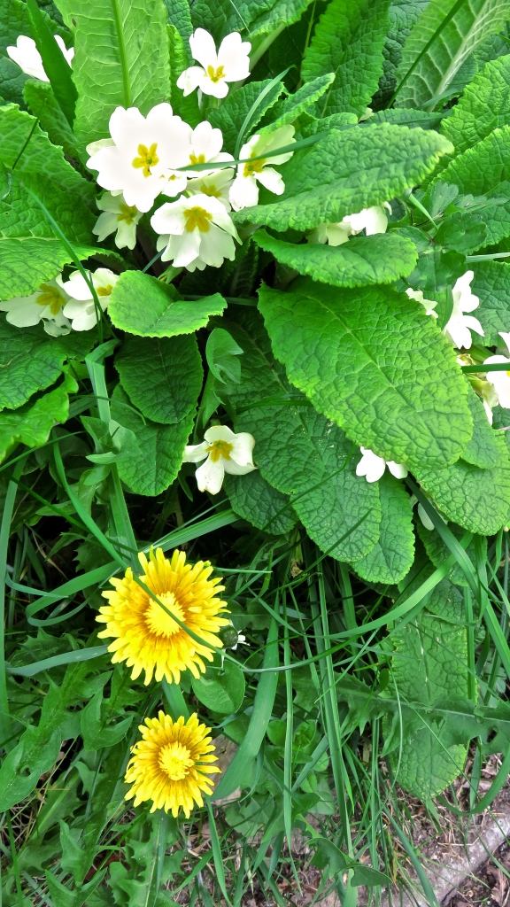 Dandelions and primroses