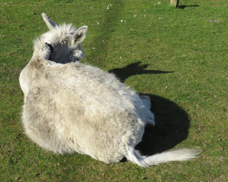 Donkey rear view