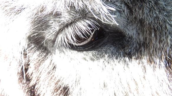 Donkey's eye 1