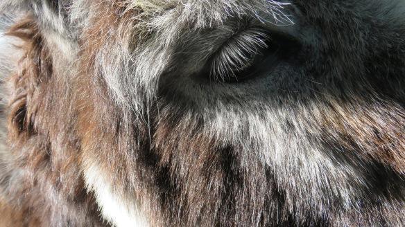 Donkey's eye 2