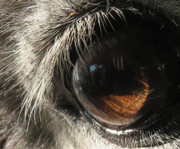 Donkey's eye 3 - Version 2