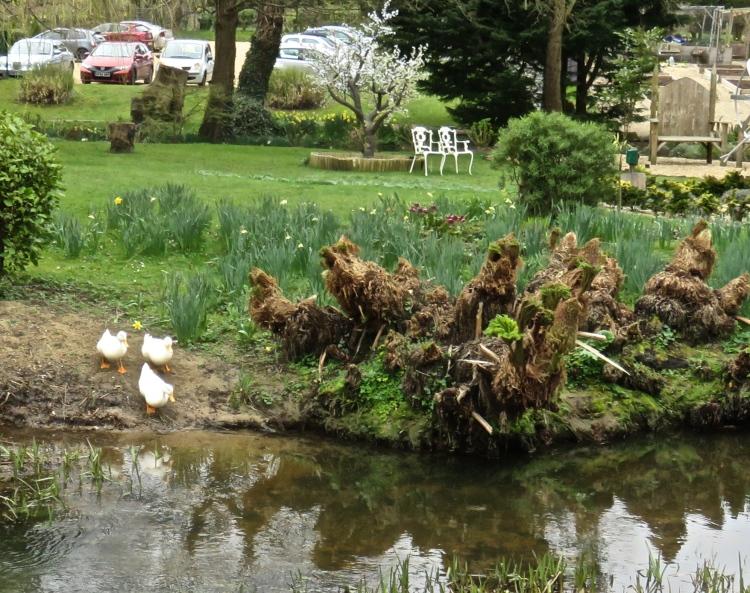 Ducks entering river