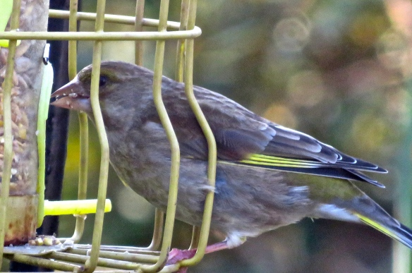 Female greenfinch 1
