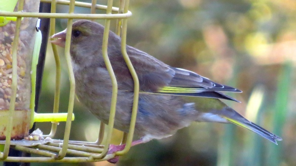 Female greenfinch 2
