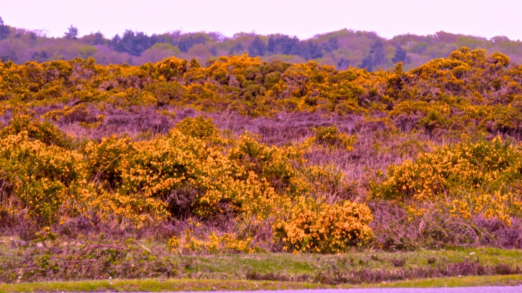Gorse - Version 2