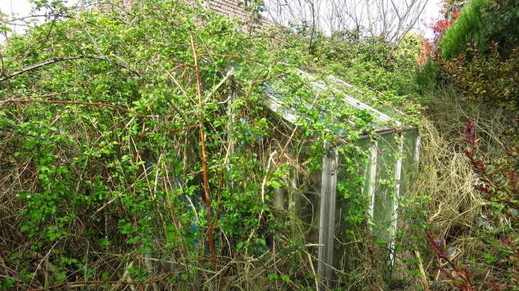 Greenhouse and brambles 1