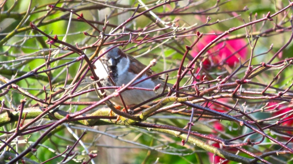 Male house sparrow 1