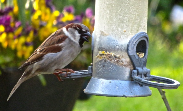 Male house sparrow 3