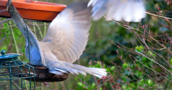 Pair of collared doves, one landing, the other flying off