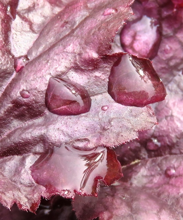 Raindrops on heuchera