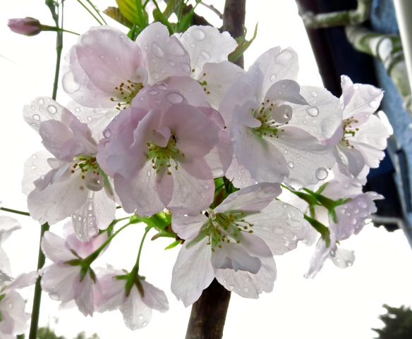 Raindrops on prunus amanogawa