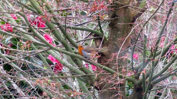 Robin in shrubbery