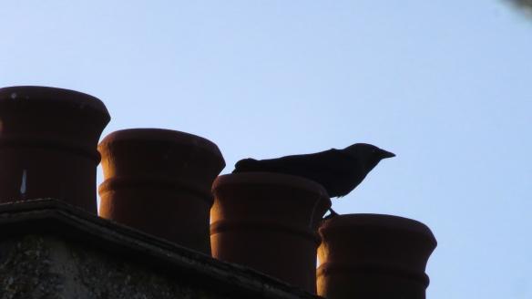 Rook on chimney pots