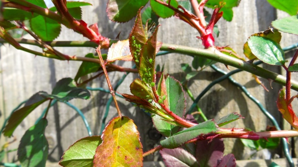Rose stem with greenfly