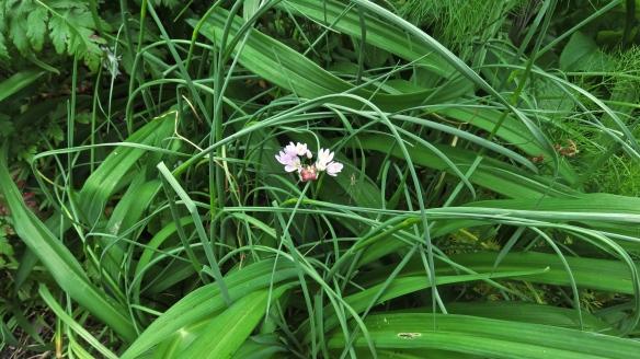 Allium and spider