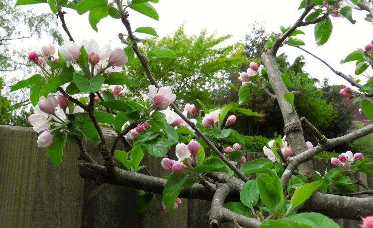 Apple blossom 1