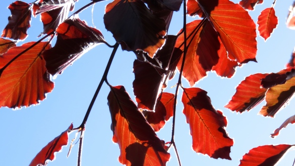 Beech leaves 2