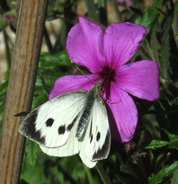 Cabbage white butterfly on geranium