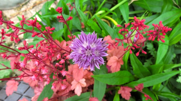 Chive and heuchera