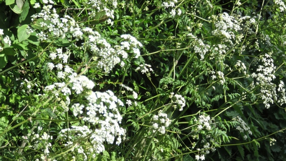 Cow parsley 1